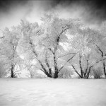 Ice Covered Trees, Alberta, 2012