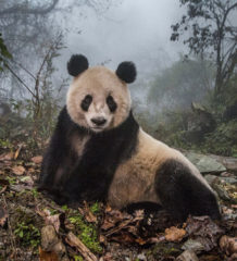 Photo © Ami Vitale. From a National Geogrphic cover story on captive pandas in China being sent back into the wild, from the 2017 Magazine/Editorial category